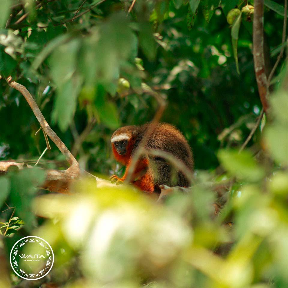 monkey-cuyabeno-waita-lodge